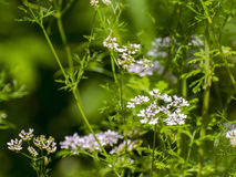Coriander (Coriandrum sativum). Flowers of coriander or cilantro (Coriandrum sativum royalty free stock image