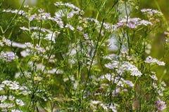 Coriander (Coriandrum sativum) Stock Images