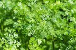 Coriander (Coriandrum sativum L.) Royalty Free Stock Photos
