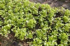 Coriander farm Royalty Free Stock Image