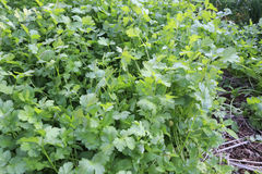 Coriander field Royalty Free Stock Photography