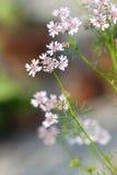 Coriander flower Royalty Free Stock Photos