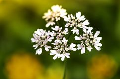CORIANDER FLOWERS IN CORIANDER FIELD royalty free stock photos
