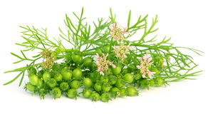 Coriander flower with leaves Stock Photo