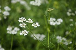 Coriander flower Royalty Free Stock Photography