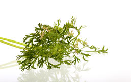 Coriander flowers and leaves Stock Image