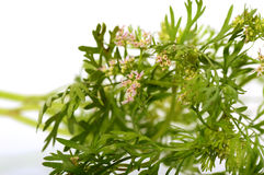 Coriander flowers and leaves Royalty Free Stock Photography