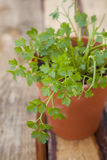 Coriander Royalty Free Stock Photos