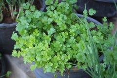 Free Coriander.Fresh Leaves Coriander Plant Stock Image - 83922811