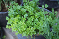 Coriander.Fresh leaves coriander plant Stock Image