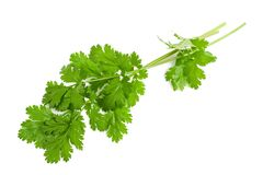 Coriander. Fresh coriander leaves  on white Stock Photography