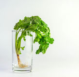 Coriander in glass,food ingredient Royalty Free Stock Images