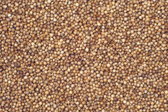 Coriander grains Royalty Free Stock Images
