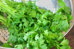Coriander. Green coriander in the bowl Royalty Free Stock Images