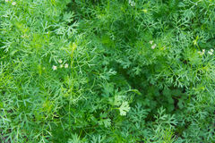 Coriander Royalty Free Stock Images
