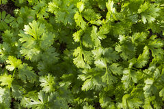 Coriander growing on farm Royalty Free Stock Photos