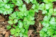 Coriander growing on farm Royalty Free Stock Photos