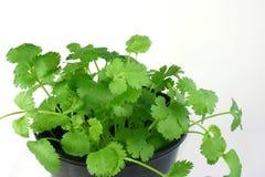 Coriander Herb royalty free stock photo