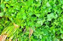 Coriander Herb leaf detail Stock Images