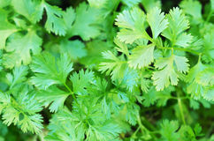 Coriander Herb leaves detail Stock Photos