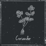 Coriander, Herbs and Spices. Royalty Free Stock Photos