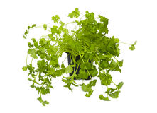 Coriander. Isolated on the white background Royalty Free Stock Photo