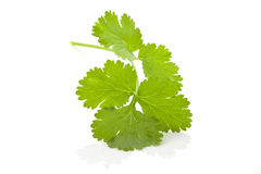 Coriander leaf. Royalty Free Stock Photography