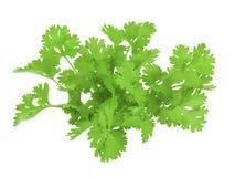 Coriander leaf on white background royalty free stock photo