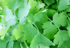 Coriander leaves Stock Photo