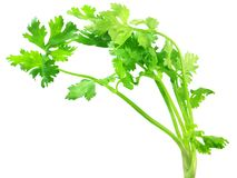 Coriander leaves. Over white background Royalty Free Stock Image