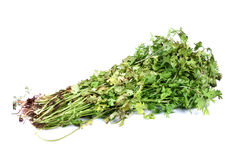 Coriander leaves Stock Image