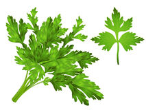 Coriander Leaves Clipart Stock Images