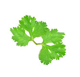 Coriander leaves with white background Stock Images