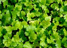 Coriander plant. Royalty Free Stock Image
