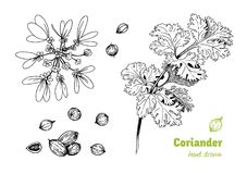 Coriander plant, flowers,  leaves and seeds vector hand drawn illustration Royalty Free Stock Images