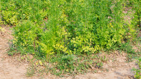 Coriander plant Stock Images