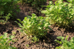 Coriander plantation Royalty Free Stock Images