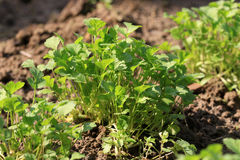 Coriander plantation Stock Images