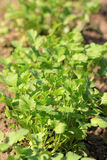 Coriander plantation Royalty Free Stock Photos