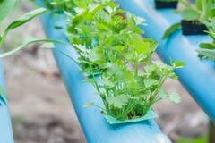Coriander planting Water Hydroponics Stock Photos