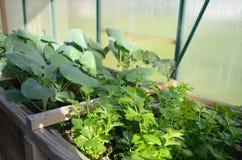 Coriander plants Stock Image