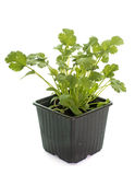 Coriander in pot Royalty Free Stock Images