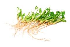 Coriander root Royalty Free Stock Image