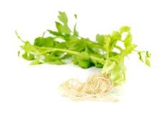 Coriander root on white background. Coriander root isolated on white background.Focus Coriander root Stock Image