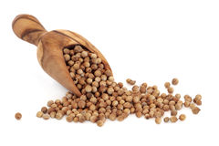 Coriander Seed. In an olive wood scoop and scattered over white background Royalty Free Stock Image