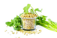 Coriander seeds with leaves in white background Royalty Free Stock Image