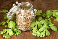 Coriander seeds and leaves Royalty Free Stock Images