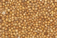 Coriander seeds spice background. Abstract background: coriander seeds spice close up Royalty Free Stock Images