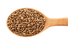 Coriander seeds on wooden spoon isolated on white background. Royalty Free Stock Photo