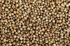 Coriander spices Royalty Free Stock Images